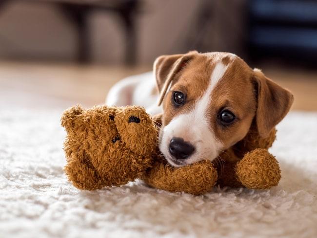 Läs vår guide hur man uppfostrar hundvalpar.