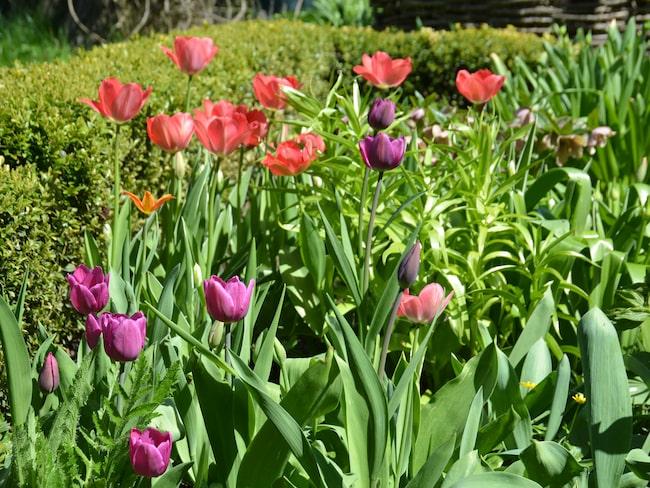 Tulpanerna är en klassiker i trädgården. Vi har odlat dem sedan 1600-talet när de kom till Europa från sina hemtrakter i Turkiet och Centralasien.