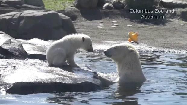 Bedårande isbjörnsunge visas upp på zoo i Ohio