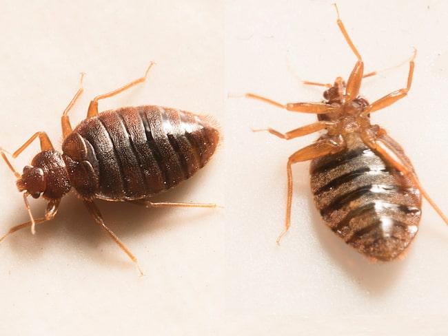 En vuxen vägglus är 4-5 mm lång, ungefär som en äppelkärna, med bred oval tillplattad kropp. Färgen är ljust gul/brun till rödbrun efter det att den har sugit blod.