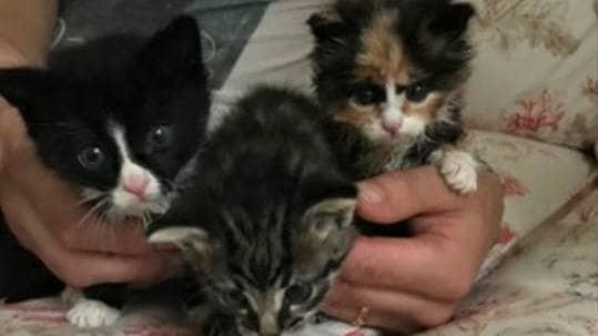 Kattungarna uppges må bra i sitt nya jourhem. Foto: Kattfotens katthem