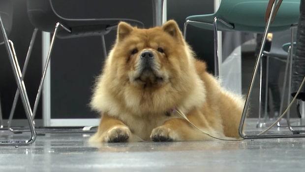 Årliga hundmässan My Dog igång på Svenska Mässan i Göteborg