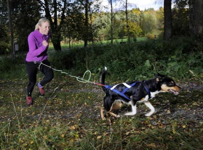 Löpning med draghjälp i terräng Gör så här: Du behöver ett dragbälte och dragsele för den här övningen. Koppla ihop dig med hunden och ge er ut på en löprunda i terrängen. Ni kan också springa på slät mark. Det kan vara kul att variera underlaget från gång till gång. Du tränar: Benmuskler och kondition. Hunden tränar: Bakdelen och ryggmuskulaturen. Tips: I början kan du behöva lägga ut en godis eller leksak för att få hunden att förstå att den ska dra. Men de flesta hundar drar ändå. Foto: Christian Örnberg