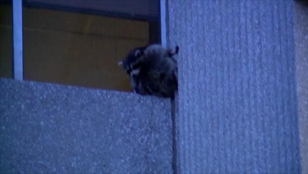 Tvättbjörn fast på sjätte våningen - men ville inte bli räddad