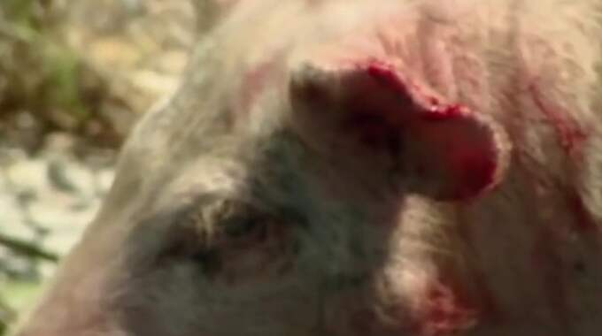 Grisen blev rejält blodig efter attacken från hunden.