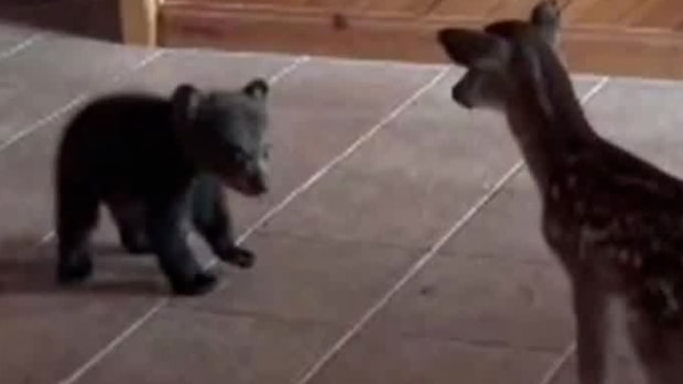Urgulliga mötet: Björnungens reaktion när den får se rådjuret