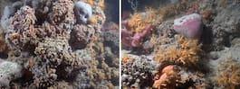 Ovanligt korallrev upptäckt i Medelhavet utanför Italien