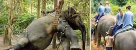 Bilderna på plågade elefanter chockar svenska turister