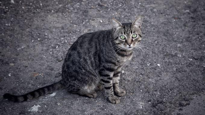 Regeringen vill se ett förbud mot att överge katter, skriver Sven-Erik Bucht (S) och Isabella Lövin (MP) på DN Debatt. Foto: Shutterstock