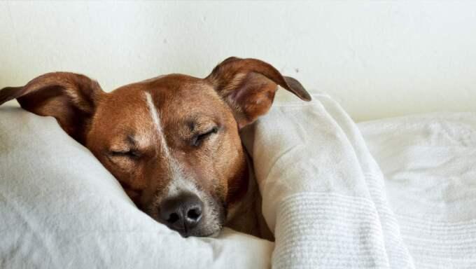 hund som sover i säng mysiga hundar