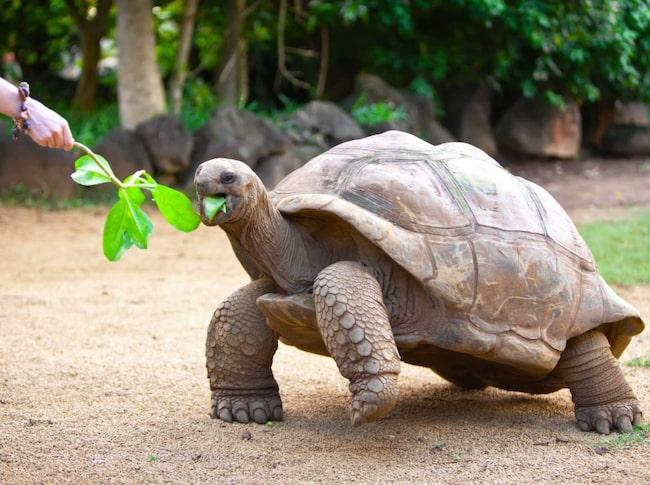 Mata vilda havssköldpaddor på Seychellerna.