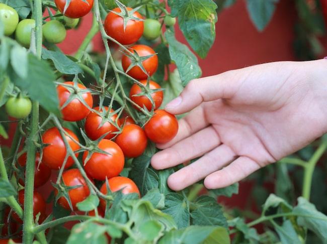 Odla tomat är inte svårt. Börja med att så dem inomhus i mars eller början av april.