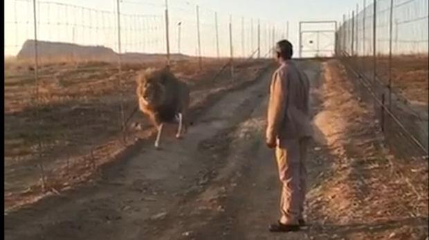 Här får lejonet syn på sin favoritperson