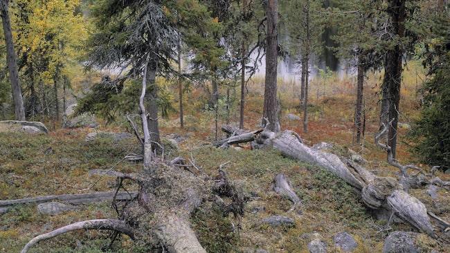 Muddus ingår liksom Sarek, Padjelanta och Stora sjöfallet i världsarvet Laponia.