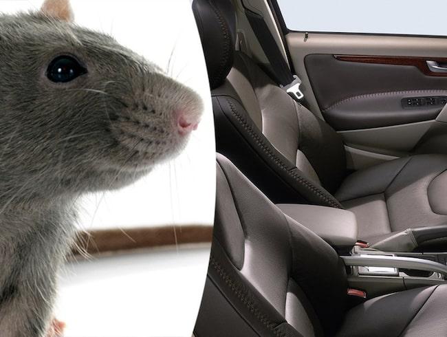 Ovanligt många möss i vinter letar sig in i våra bilar och gnager sönder både bälten och elledningar.