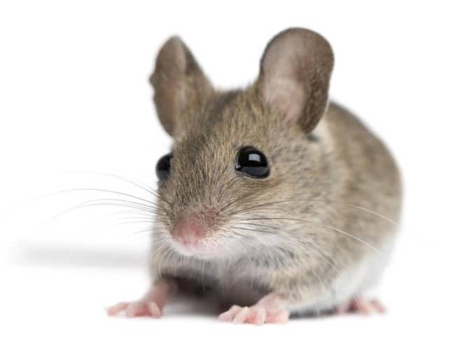 7. Mus/Råtta – för dig som vill ha ett lättskött djur. Foto: Eric Isselãéâ E