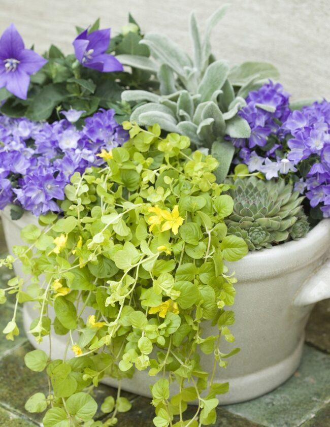 BLÅTT & GULT. Blåa blåklockor och gula penningblad i skön kontrast. Den småblommiga blåklockan heter 'Springbells' och den storblommiga är en carpaterklocka. Förutom penningbladet finns gråludna lammöron och taggig echeveria i krukan.