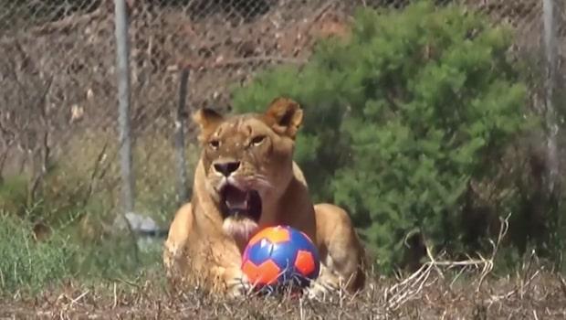 VM-Feber: Även lejon vill spela fotboll
