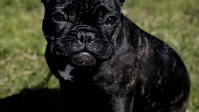 Fransk bulldogg Foto: CHRISTIAN ÖRNBERG