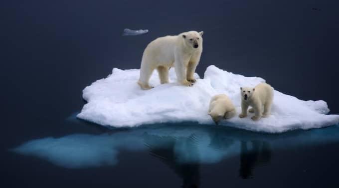 Isbjörnar på Svalbard - strandade på ett litet isberg 10 mil ute till havs. Foto: Dennis Bromage / Barcroft Mediaocean