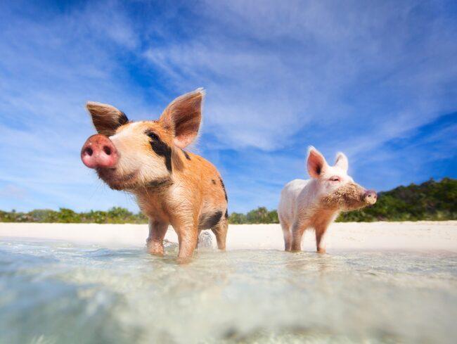 De simmande grisarna på Bahamas är en stor turistattraktion.