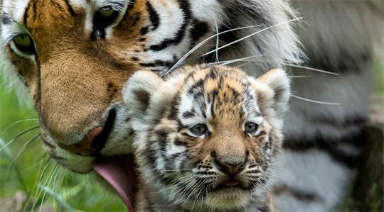 Tuff sommar for manga djurparker