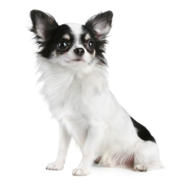<strong>Chihuahua, långhårig</strong><br>Inköpspris: 15 000 kronor.<br>Vaccination: 520 kronor.<br>Försäkring: 1 604 kronor.<br>Valpkurs: 1 600 kronor.<br>Mat: 977 kronor.<br>Medlemskap: Chihuahuacirkeln 250 kronor.<br>Prylar: 2 450 kronor.<br><strong>Summa: 22 401 kronor.</strong>