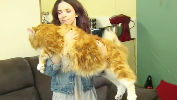 Längst i världen? Katten Omar är 1.2 meter lång!