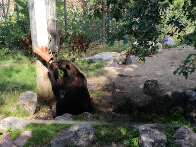 Björnparet på Skansen käkar frysta vindruvor och meloner.