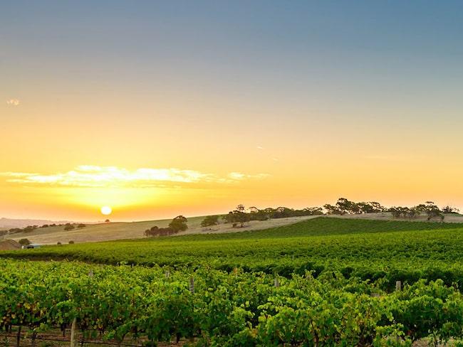 I bland annat Australien heter Syrahdruvan i stället Shiraz. Här en bild från kända barossaregionen i södra Australien.
