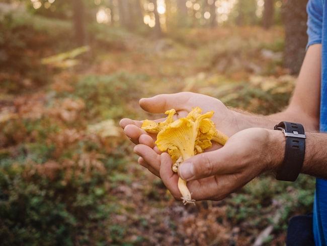 """En torr och varm sommar ger alltid sämre utbud på svamp, speciellt """"det gula guldet"""", kantarellen, som är vår populäraste svamp att plocka."""